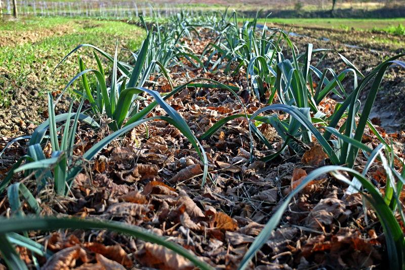 Poireaux bio paillage feuilles mortes - Ferme de Videau