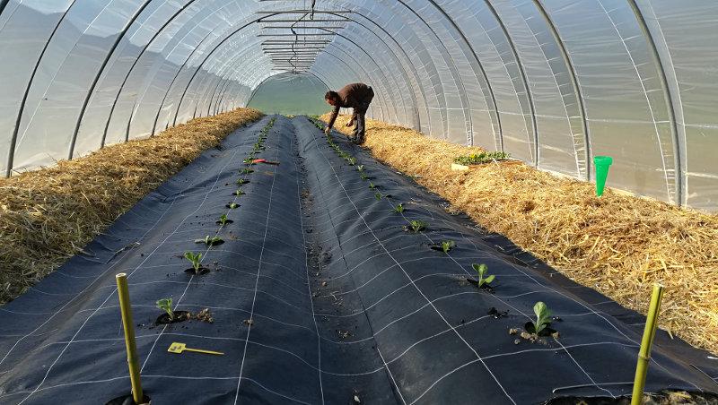Plantation aubergines - Ferme de Videau