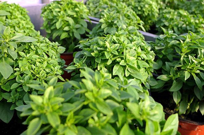 Plants de basilic - Ferme de Videau