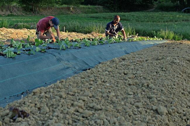 Plantation fraises ciflorette - Ferme de Videau