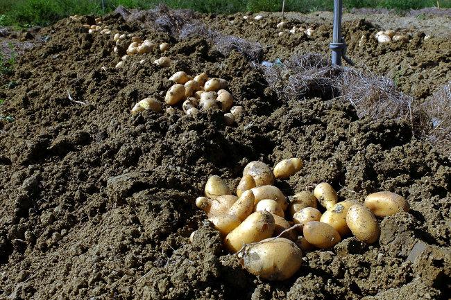 Récolte pommes de terre - Ferme de Videau