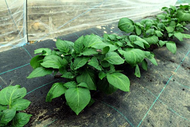 Pommes de terre primeurs - Ferme de Videau