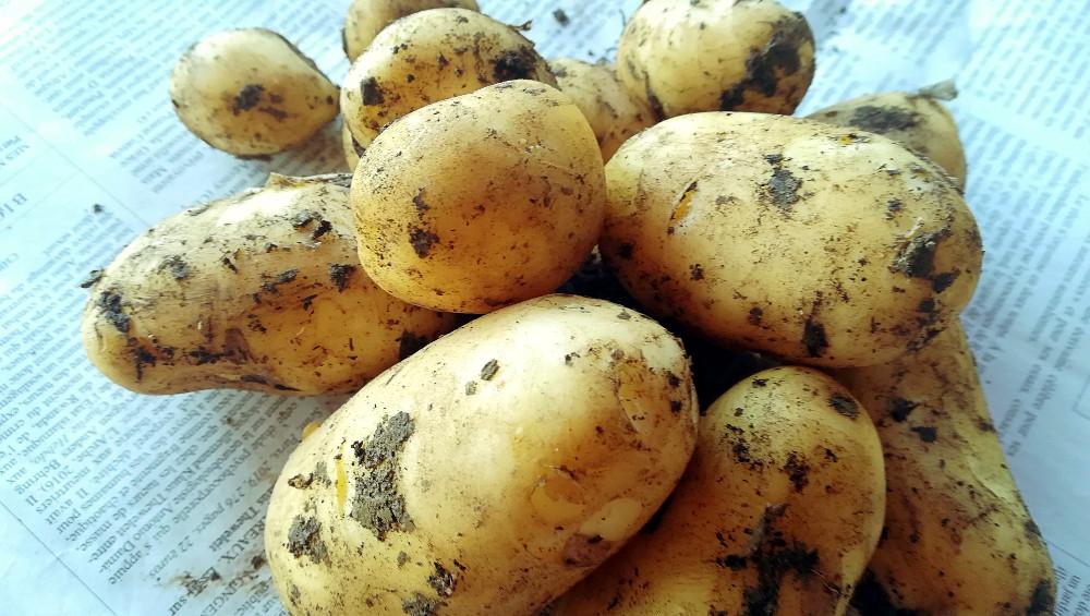 Pommes de terre primeur - Ferme de Videau