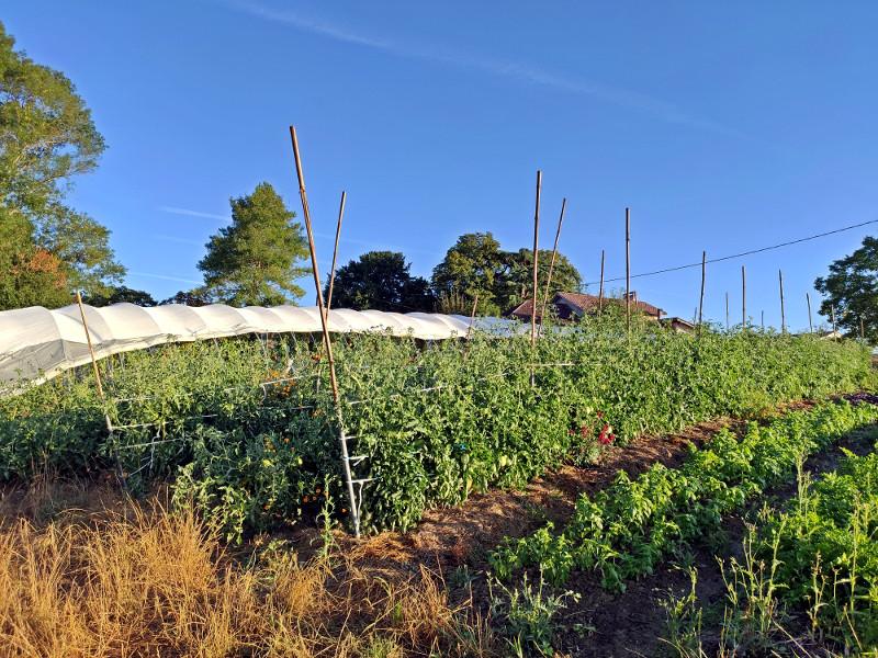 Tomates plein champ - Ferme de Videau